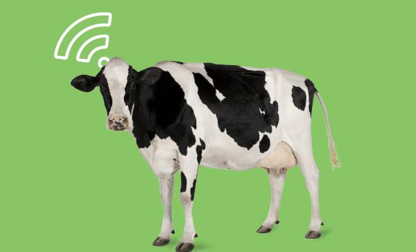 Até as vacas estão conectadas